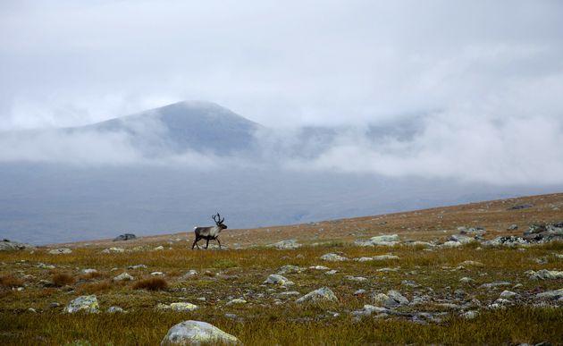 Rendieren_noorwegen
