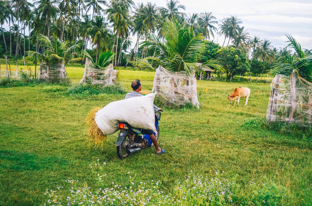rijst-oogsten-trang