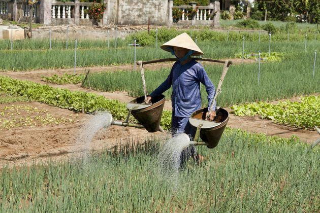 rijstplanten-water-geven