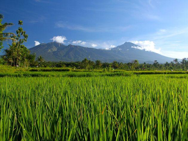 rijstvelden_indonesie