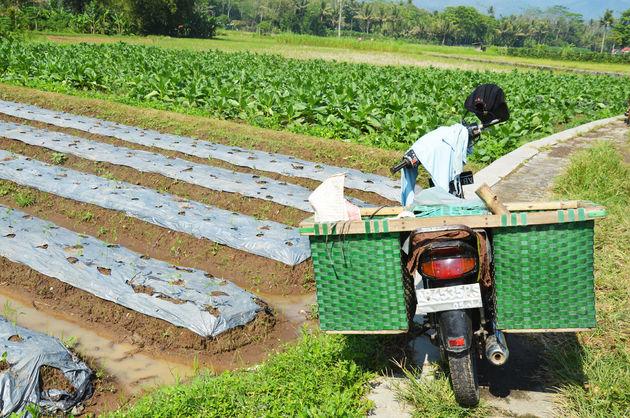 rijstvelden-java