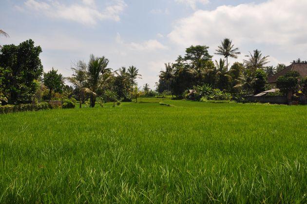 rijstvelden-ubud