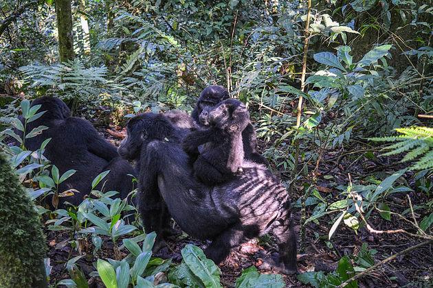 Rushegura-gorilla's-1