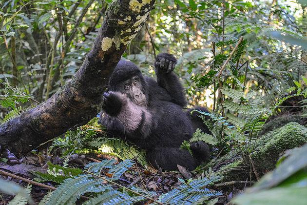 Rushegura-gorilla's-2