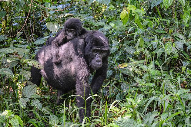 Rushegura-gorilla's-3