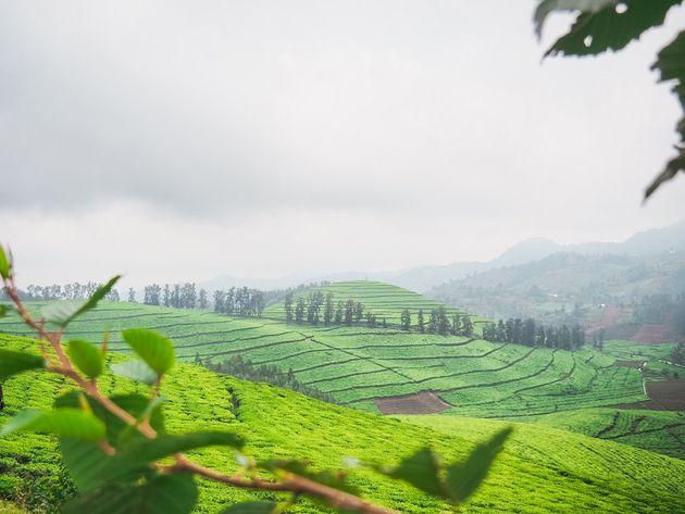 Rwanda theevelden