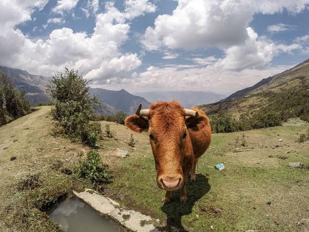 Salkantay-Trek-koe-onderweg