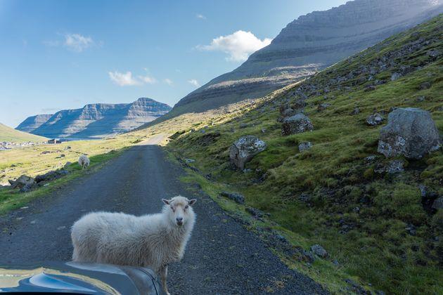 schapen-faroer-eilanden