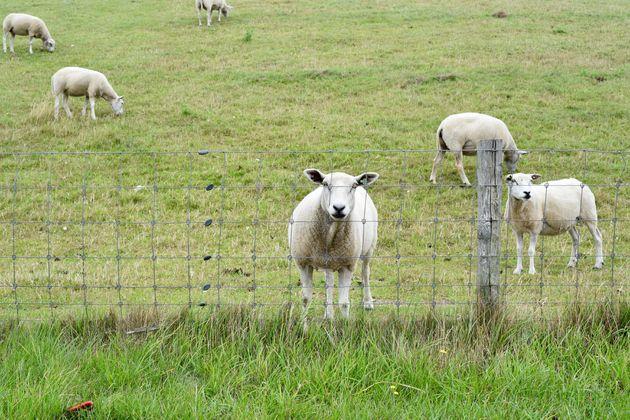 schapen-texel