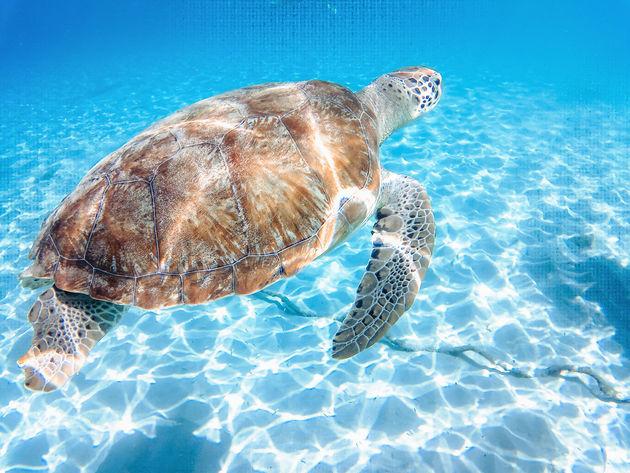 Schildpad-Playa-Grandi