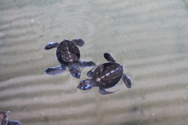 Sea-Turtles-Hikkaduwa