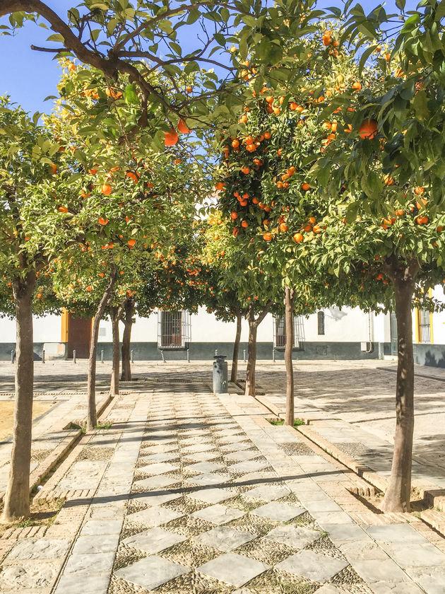 sevilla-Sinaasappelbomen