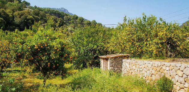 sinaasappels-citroenen-mallorca