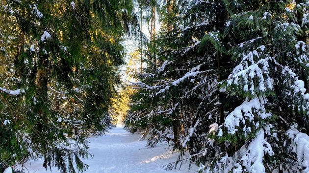 Speulderbos_sneeuw_naaldbomen