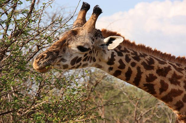 tanzania_kenia_giraf