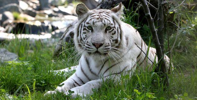 Zoo_de_La_Fleche_Witte_tijger