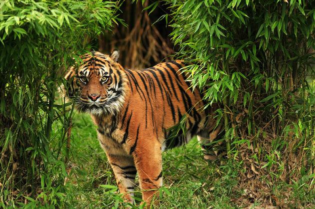 tijger-wild