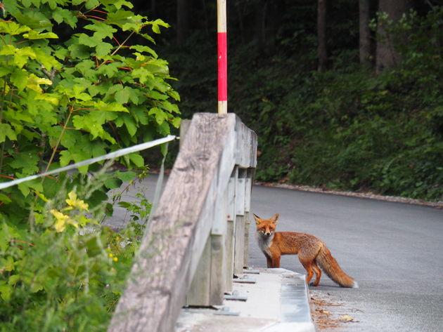 Triglav Nationaal Park Slovenie vosje