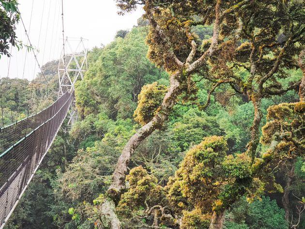 Tweede deel loopbrug Nyungwe Rwanda