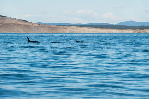 Vancouver_island_orka's
