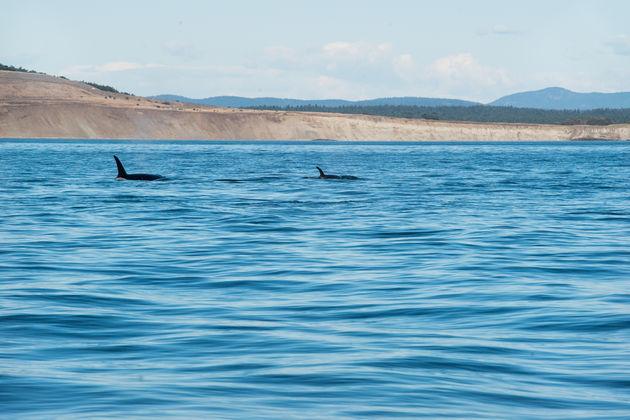 Vancouver_island_orka's