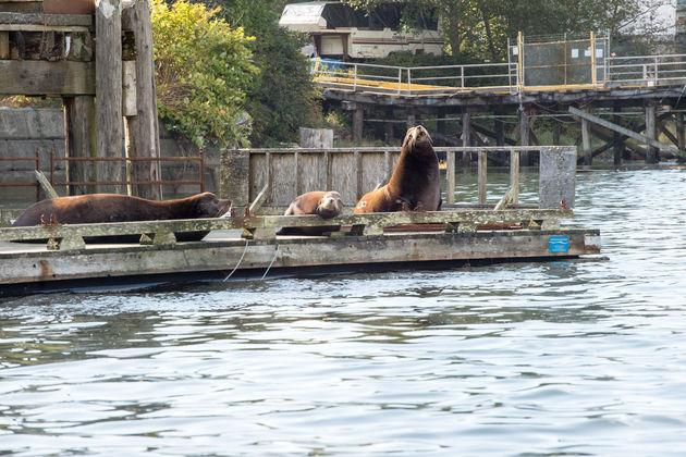 Vancouver_island_zeeleeuwen
