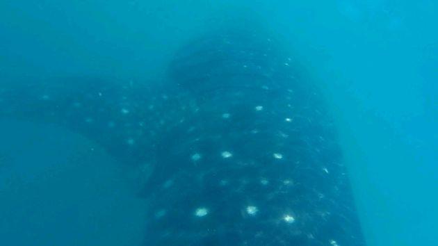 walvishaaien-filipijnen