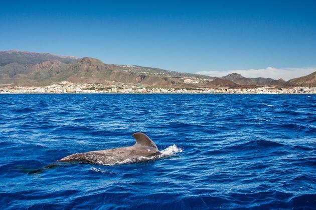 walvissen-spotten-tenerife