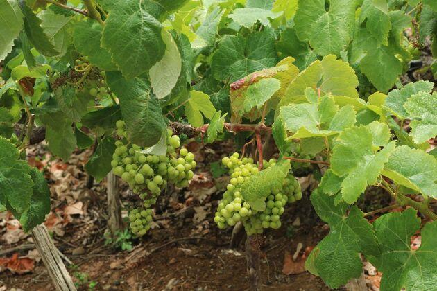 Wijn Tenerife