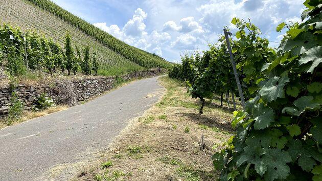 Wijnranken_Mosel_Radweg