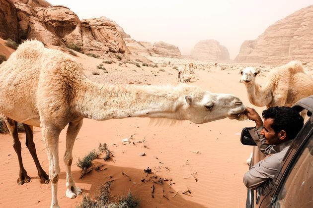 wilde-kamelen-jordanie