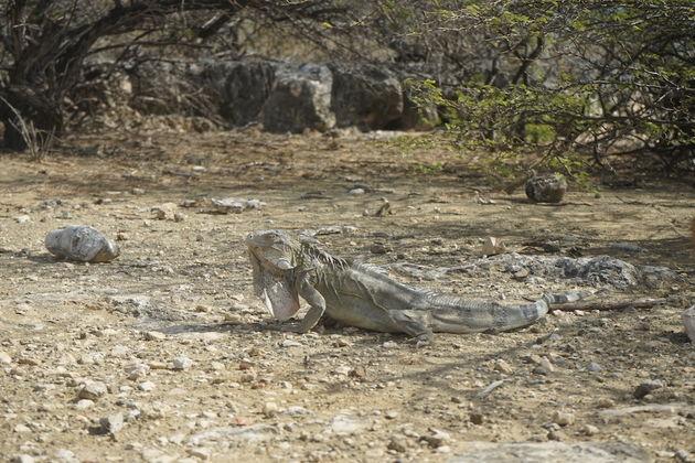 Wildlife-Slagbaai-Bonaire