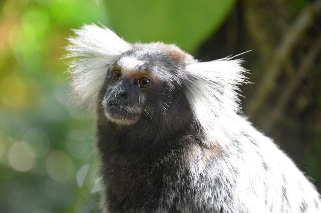 wit-oor-zijde-aap