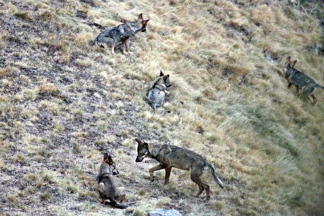 wolven-noord-spanje