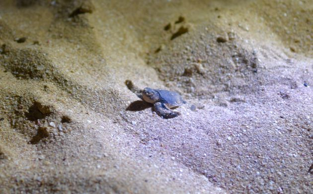 zeeschildpad-Ras-al-Jinz