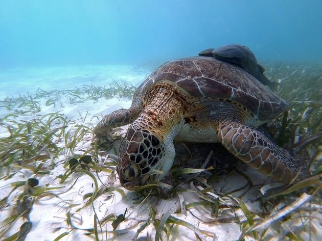 Zeeschildpad snorkeltour Mahahual