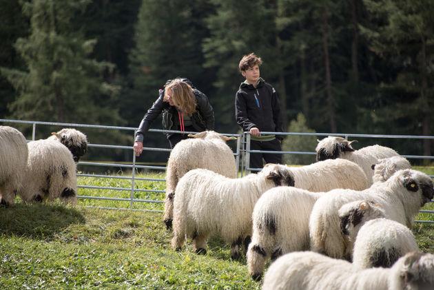 zermatt-schapen