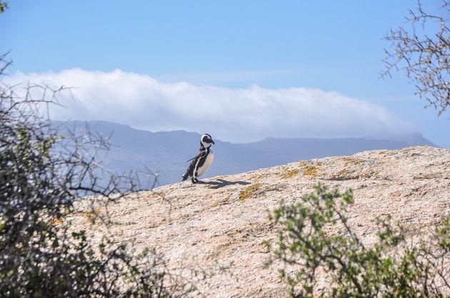 zwarte-pinguin-rots-boulders-beach