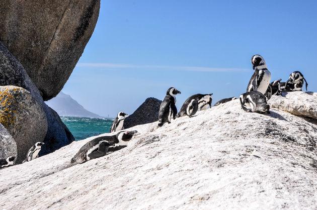 zwartvoetpinguins-boulders