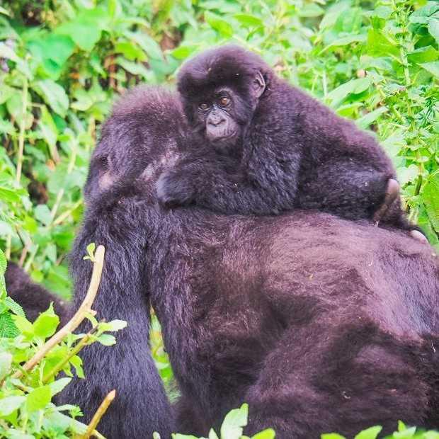 Berggorilla's in het wild zien? Ga op gorilla tracking in Rwanda!
