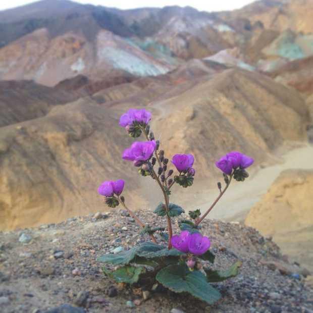 Death Valley is een bloemenparadijs geworden