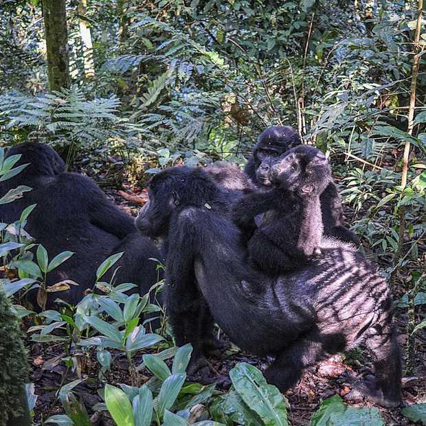 Bucket list-materiaal: op gorilla-safari in Oeganda
