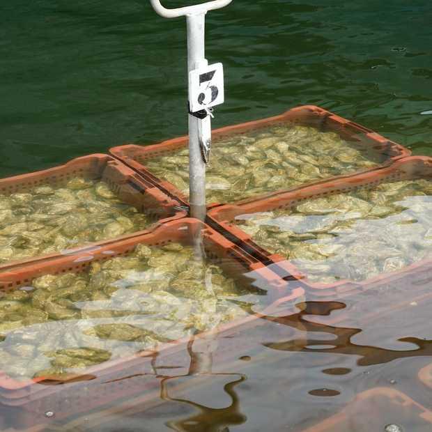 Op een oester van Île d'Oléron moet je kauwen