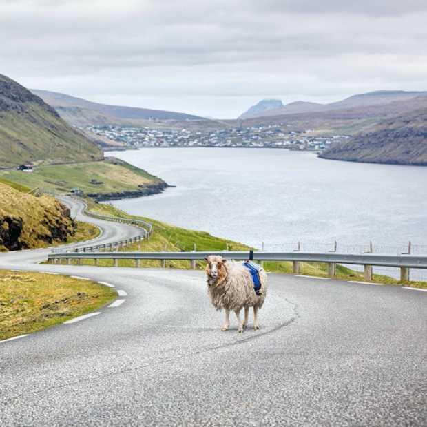 Schapen leggen Faeröer eilanden vast in 360°