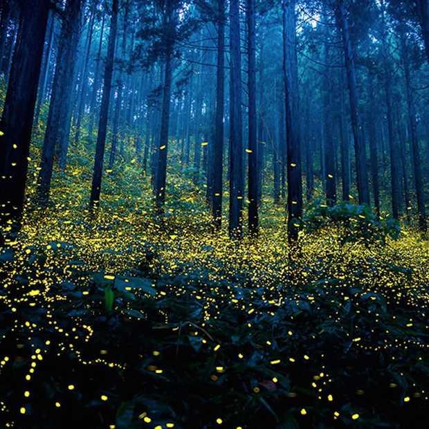 Vuurvliegjes zorgen voor magische beelden in Japan