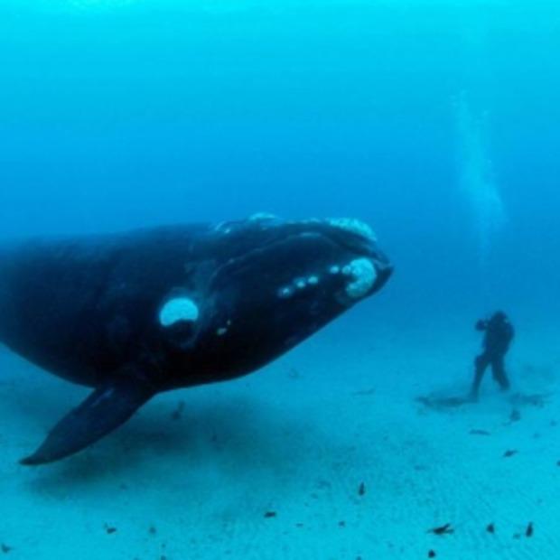 Naast zwemmen met dolfijnen nu ook zwemmen met walvissen...?