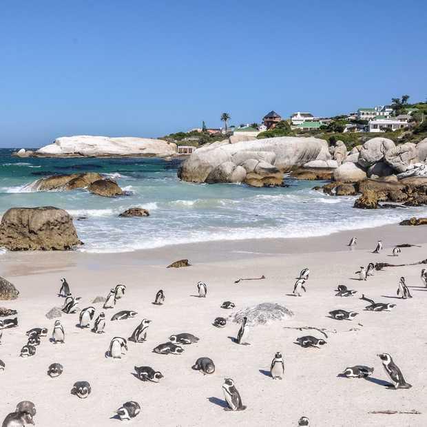 Zwemmen met pinguïns op Boulders Beach in Zuid-Afrika
